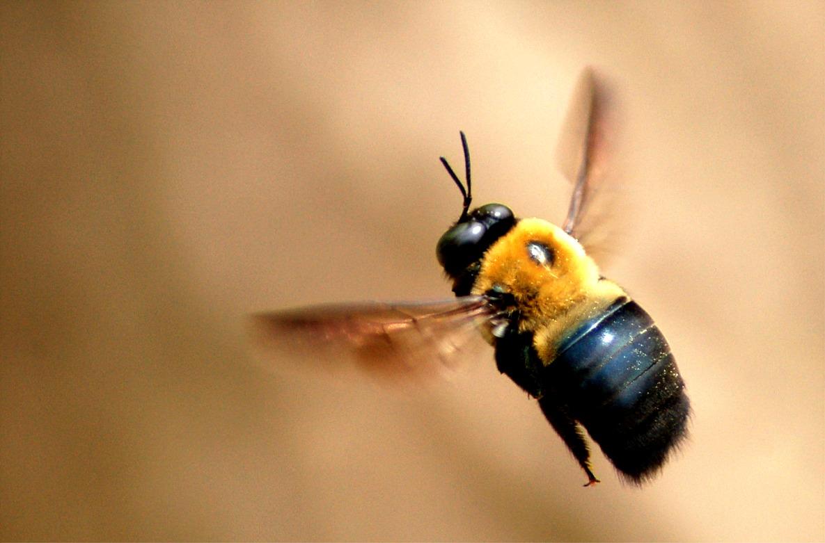 carp-bee.jpg