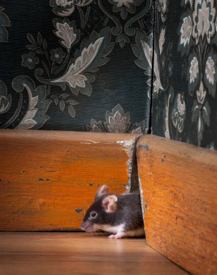 mouse coming out ot her hole in old-fashioned room