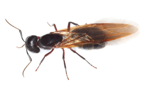 The Difference Between Carpenter Ant And Termite Infestation Home Pest Control