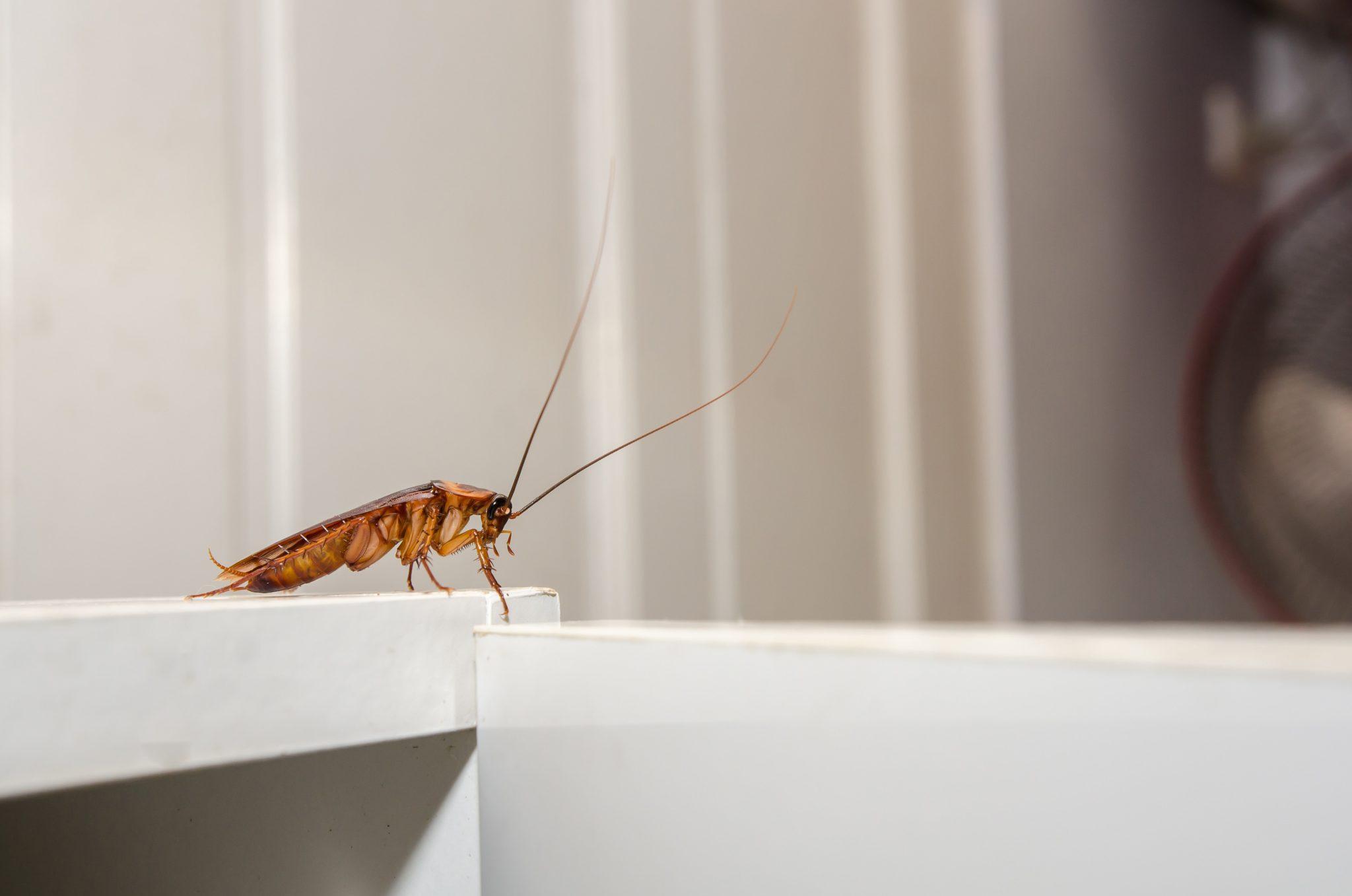 Gigantic Cockroach