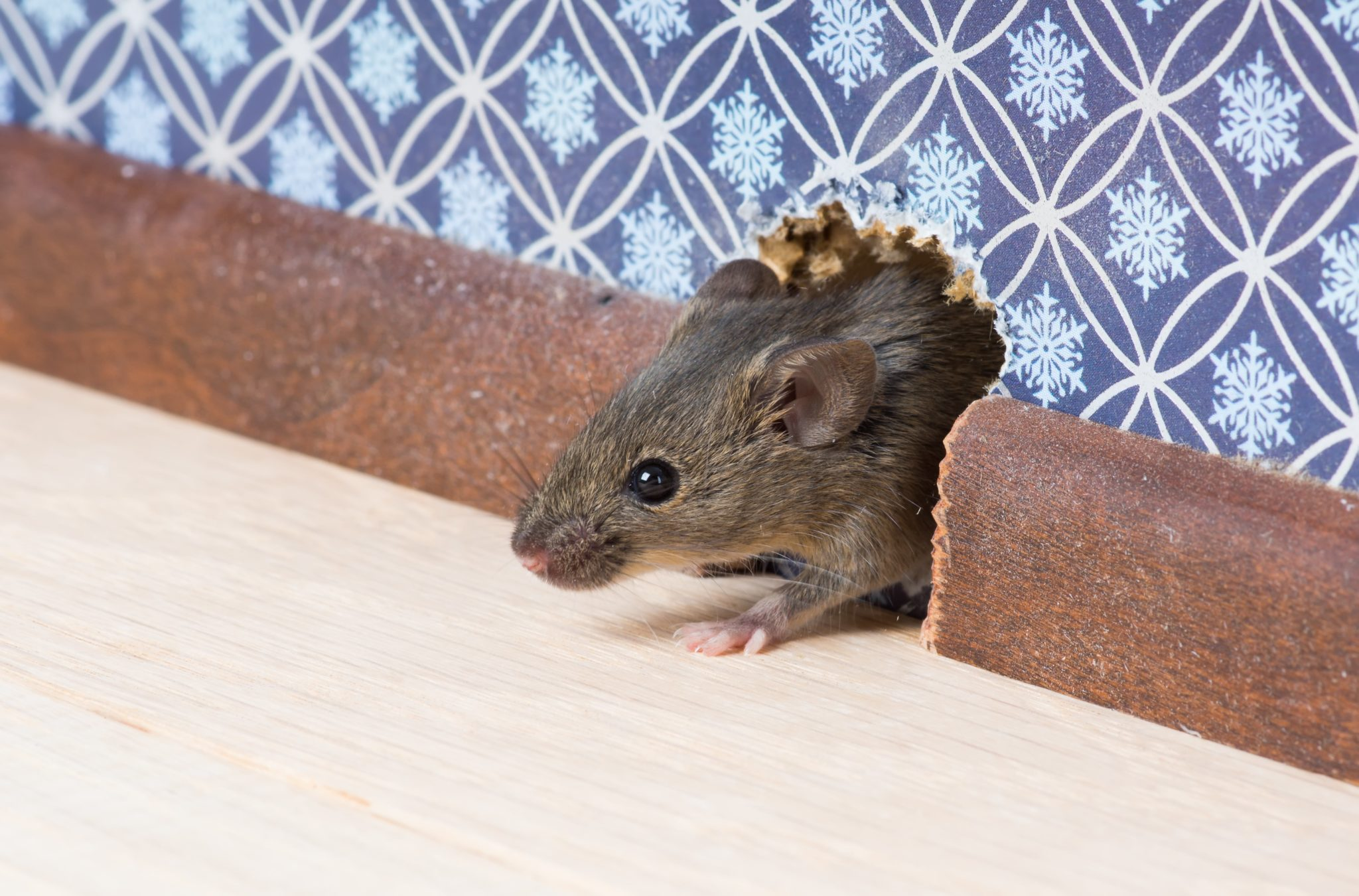 Mouse Rodent Control