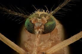 A photo of a mosquitoe.
